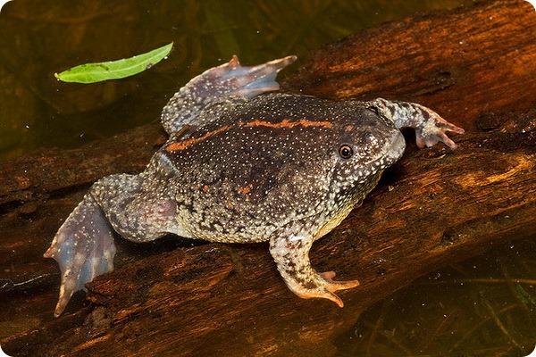 Мексиканская носатая жаба (лат. Rhinophrynus dorsalis)