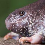 Мексиканская носатая жаба