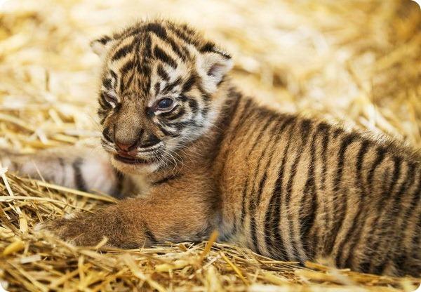 В зоопарке Праги родился суматранский тигренок