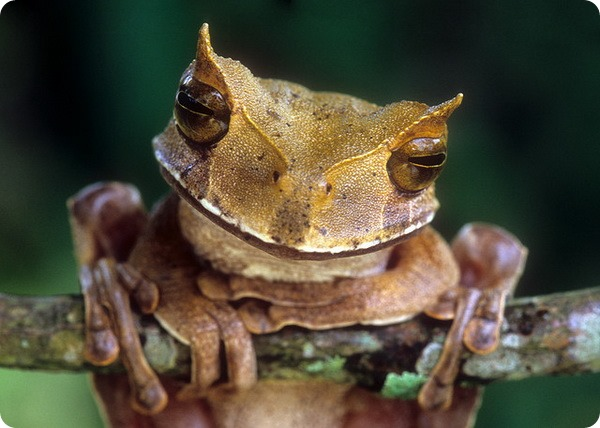 Рогатая сумчатая квакша (лат. Gastrotheca cornuta)