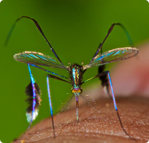 Блестящий комар Sabethes cyaneus