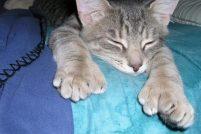 Полидактильные кошки: очарование больших лап