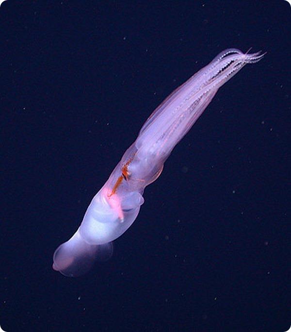 Глубоководный кальмар Grimalditeuthis bonplandi