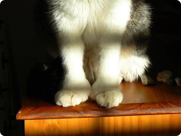 Полидактильные кошки
