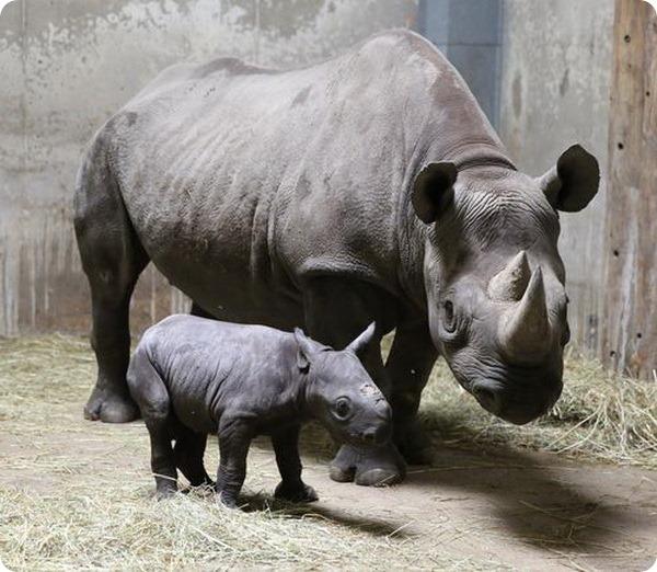 Зоопарк Линкольна представил детеныша черного носорога