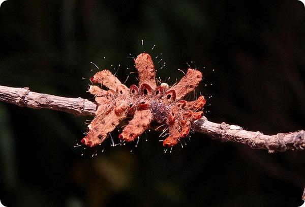 Слизневидка Phobetron pithecium