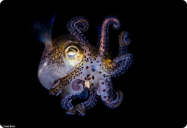 Невероятная красота мини-кальмаров