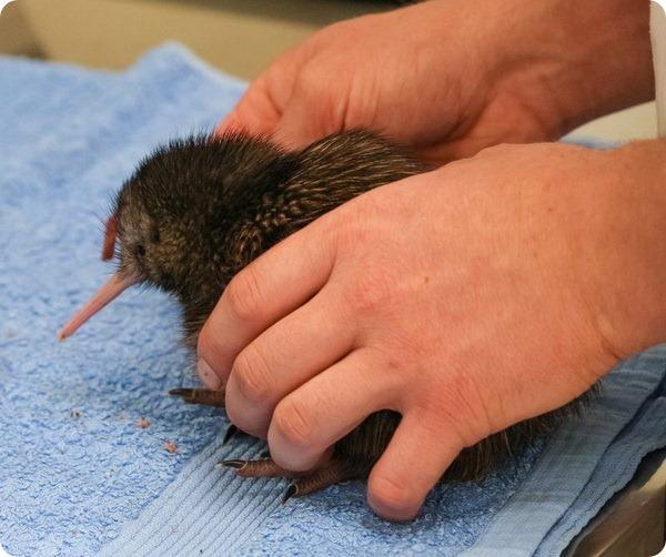 Птенец киви из природоохранного центра в Новой Зеландии