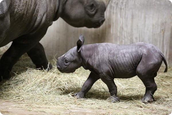 Зоопарк Линкольна представил детеныша черного носорог