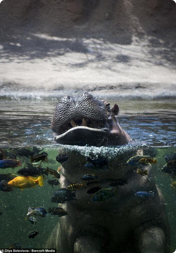 Позирующий бегемот из зоопарка в Сан-Антонио