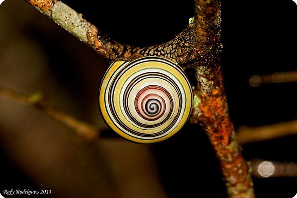 Радужные улитки Liguus virgineus