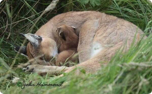 Детеныш каркала со своей матерью из Exmoor Zoo