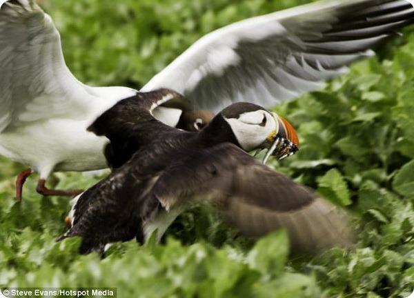 Встреча тупика и озерной чайки