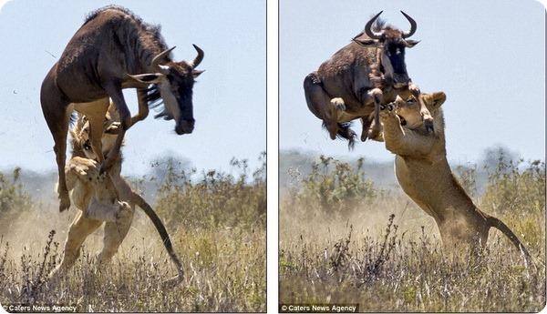 Двухметровый прыжок спасает Гну от смерти
