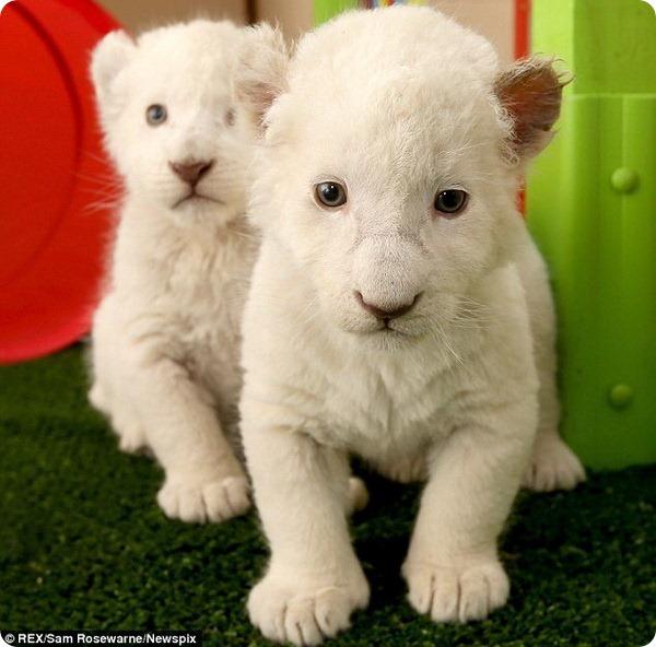 Очаровательные белые львята из Тасмании