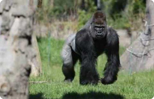 Неуживчивую гориллу переселяют в другой зоопарк