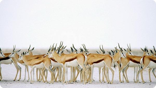 Газель Томсона (лат. Gazella thomsoni)