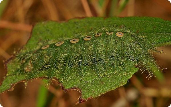 Ленточница Tanaecia lepidea