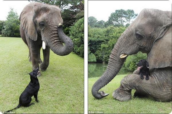 Дружба между лабрадором и слоном