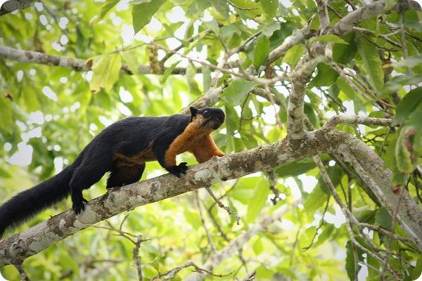 Двухцветная белка (лат. Ratufa bicolor)