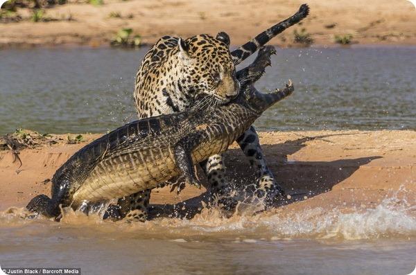 Ягуар против каймана