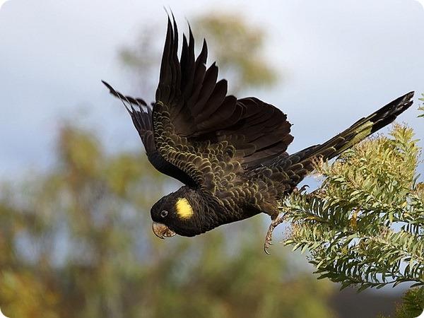 Желтоухий траурный какаду (лат. Calyptorhynchus funereus)