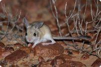 Коричневая тушканчиковая мышь