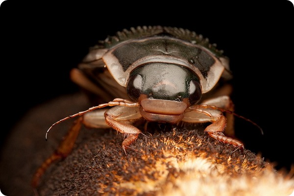 Окаймленный плавунец (лат. Dytiscus marginalis)