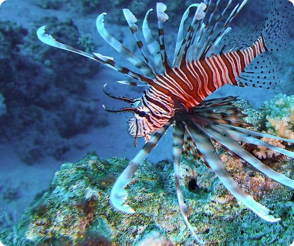 Радиальная крылатка или радиальная огненная рыба (лат. Pterois radiata)