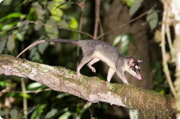 Серый четырехглазый опоссум (лат. Philander opossum)