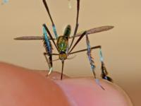 Блестящий комар