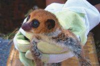 Новый карликовый лемур Cheirogaleus lavasoensis