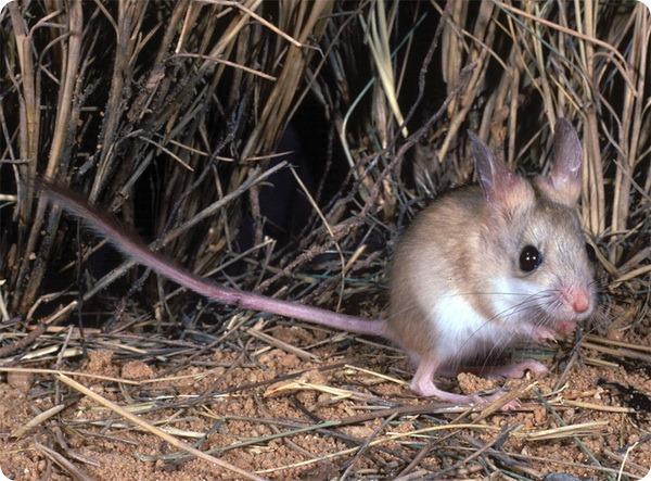 Коричневая тушканчиковая мышь (лат. Notomys cervinus)
