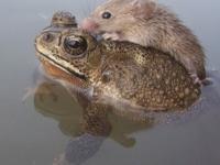 Крыса добралась до берега благодаря лягушке