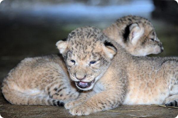 В зоопарке Майами родились первые львята