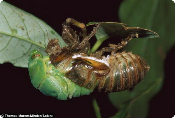 Удивительные превращение цикады