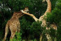Бой между жирафами в заповеднике Sabi Sabi