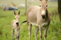 В Англии родился детеныш сомалийского осла