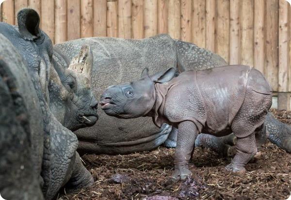 Детеныш индийского носорога из зоопарка Базеля