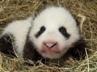 Детеныш большой панды из зоопарка Вены