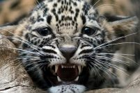 Детеныш персидского леопард из зоопарка Берлина