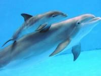 В зоопарке Брукфилда родился дельфиненок