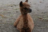 Маленькая альпака из зоопарка Сагино