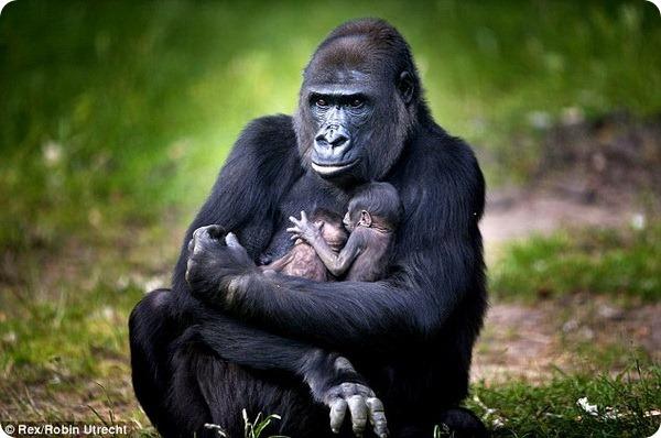 Самка горили N