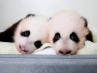 Панды-двойняшки из зоопарка Атланты получили имена