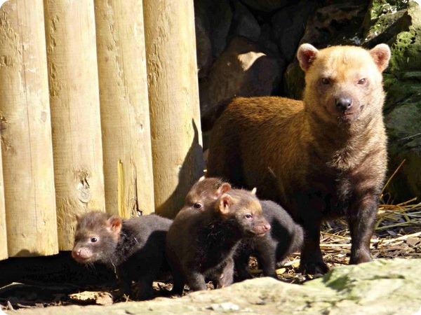 Детеныши кустарниковой собаки из Twycross Zoo