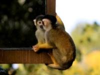 Беличьи обезьянки готовятся к приезду нового самца