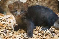 Детеныш ягуарунди из зоопарка Праги