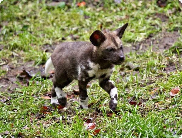 Детеныши гиеновидной собаки из зоопарка Эдинбурга