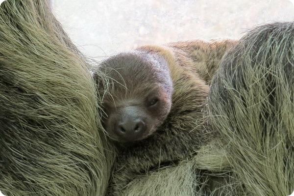 Детеныш ленивца из зоопарка Будапешта